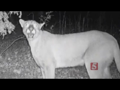 TWRA: Cougars Are Back In Tennessee To Stay