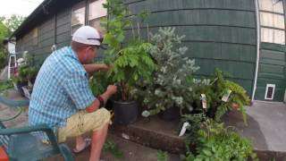 Wisteria heavy pruning how to bonsai trees for diy beginners
