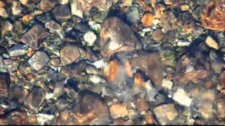 熊野川支流大塔川の鮎(2010-09-11,12)