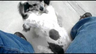 Perritos Peleando (schnauzer Vs French Poodle)