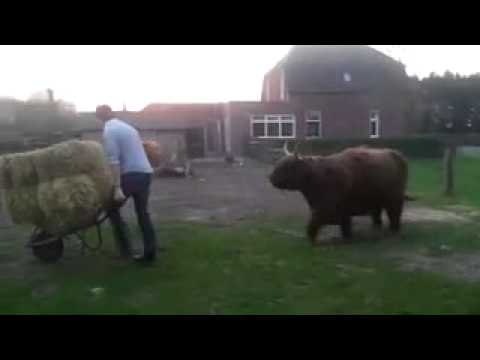 Funny, happy Scottish Highland cows!
