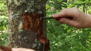 Кто губит деревья на «Столбах» и как с ним борются? «Таёжный спецназ»03.08.2020