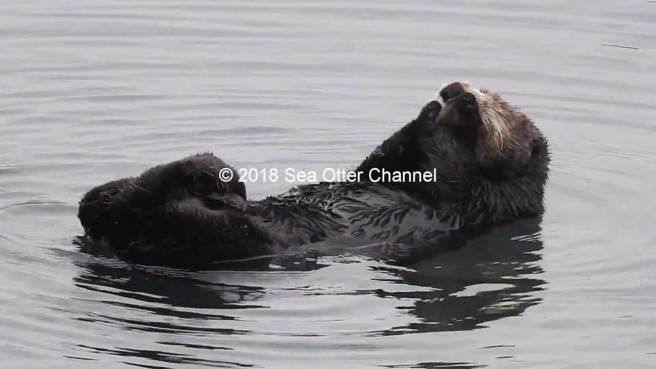 Wild sea otter cleaning his fur | グルーミングする野生のラッコ