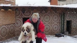 Щенки алабая. www.r-risk.ru +79262205603 Татьяна Ягодкина