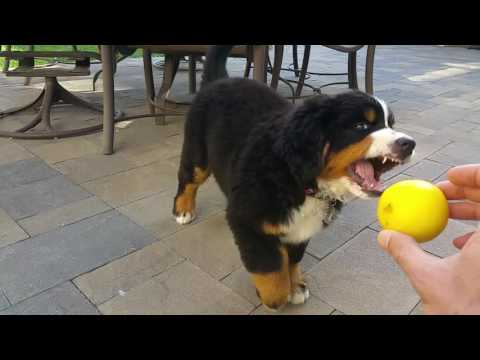 Luca and the lemon (Bernese Mountain Puppy)