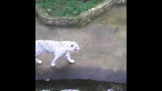 النمر الأبيض لأول مرة في حديقة الحيوانات بالجزائر