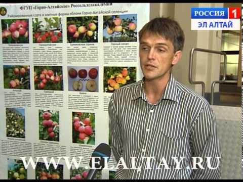 Выращивание сливы в Сибири – сорта, посадка и уход