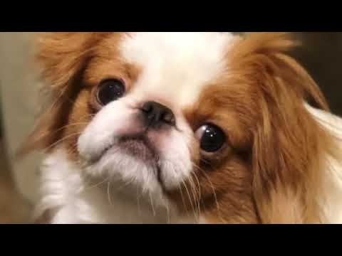 Japanese Chin  Our older Chins playing with 9 our month old puppy