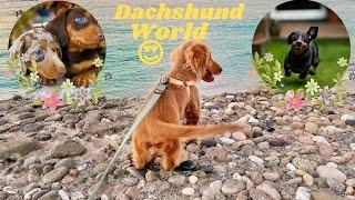 One Hour Dachshund Dogs Videos Dachshund World  Funny Videos,  Dachshund at the Beach Playful Dogs