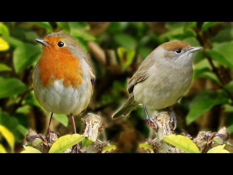 Sounds for Cats to Listen To - Birds Being Awesome : Longest Video on Youtube