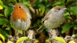 Sounds for Cats to Listen To and Sleep - Birds Being Awesome : Longest Bird Video on Youtube