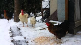A co tam zima. Kury witają się ze śniegiem.