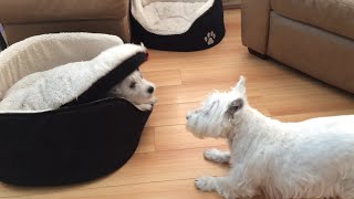 West Highland Terrier dogs play hilarious game of peekaboo