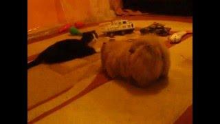 Чау-чау 1,5 месяца. Достаёт кота)))*