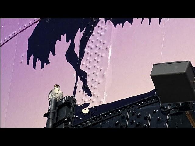 Detroit Zoo | Saving Wildlife: Peregrine Falcons
