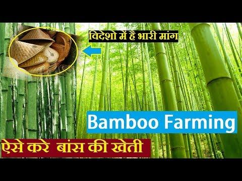 बांस की खेती | Bamboo Farming india