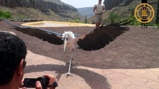 Marabou Stork - The Undertaker Bird is showing of in the heat