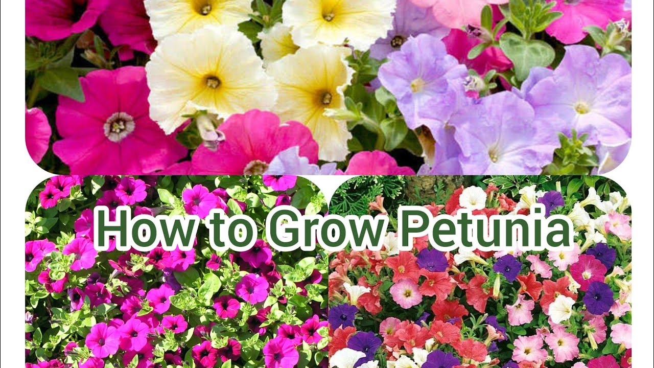 How to Grow Petunia Easily and Its Care - YouTube