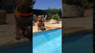 Funny dog jumps into a pool with a Splash!