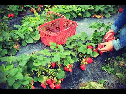Culture des fraisiers : plantation, multiplication, entretien et récolte