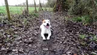 "Staffordshire Bull Terrier Puppy  ( Diaporama ""jigga"" 11 Month Old )"