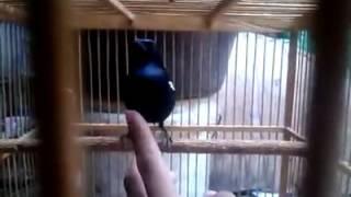 Suara burung Kacer jantan Harian ngriwik ngeplong