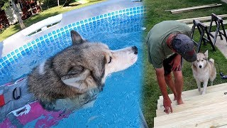 shelby-the-husky-got-a-pool-for-her-birthday