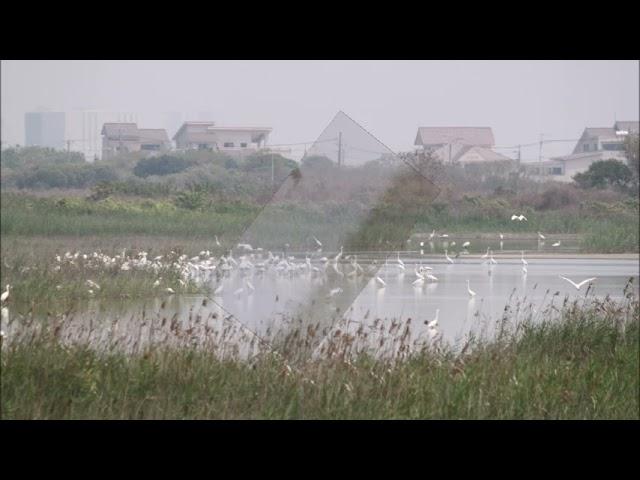 茄萣濕地四月天Qieding  Wetland April Day一日鳥況轉播Bird live broadcast