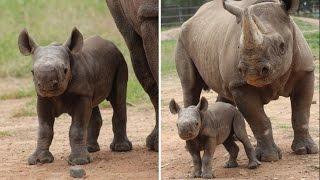 Watch Newborn Black Rhino Adorably Follow Mom Around Zoo