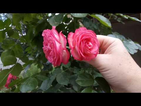 Плетистая роза Antike ( Антик) замечательный ,неприхотливый сорт)
