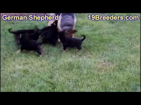 German Shepherd, Puppies, Dogs, For Sale, In Aurora, County, Illinois, IL, 19Breeders, Joliet, Elgin