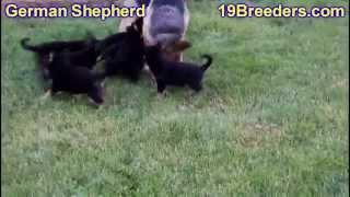 German Shepherd, Puppies, For, Sale, In, Aurora, Illinois, Il, Moline, Belleville, Lombard, Dekalb,