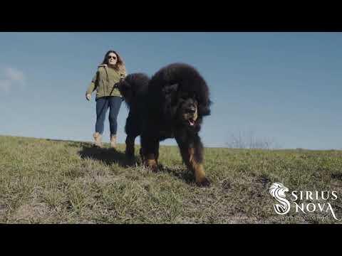 Tibetan Mastiffs, imports from China. Enjoy!