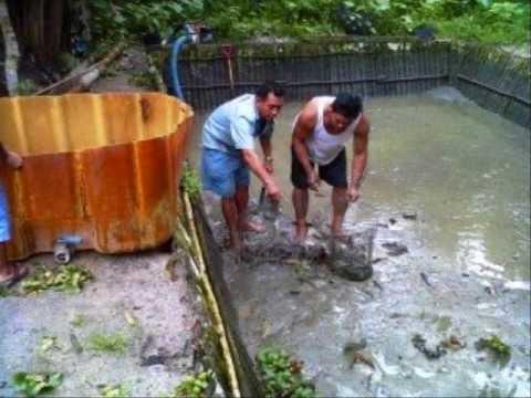 Download 52 Koleksi Gambar Kolam Ikan Gabus HD Terbaru