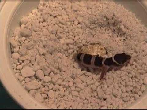 Leopard Gecko Hatching - YouTubeLive Leopard Gecko Hatching
