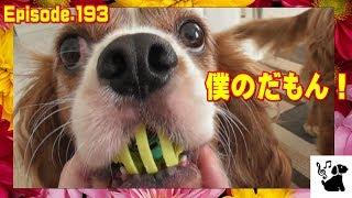 ぴーちゃん、玉乗りに挑戦! おもしろ可愛い犬・アンポンタン(キャバリ...