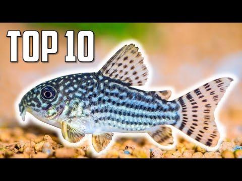 Top 10 Cory Catfish For Your Aquarium