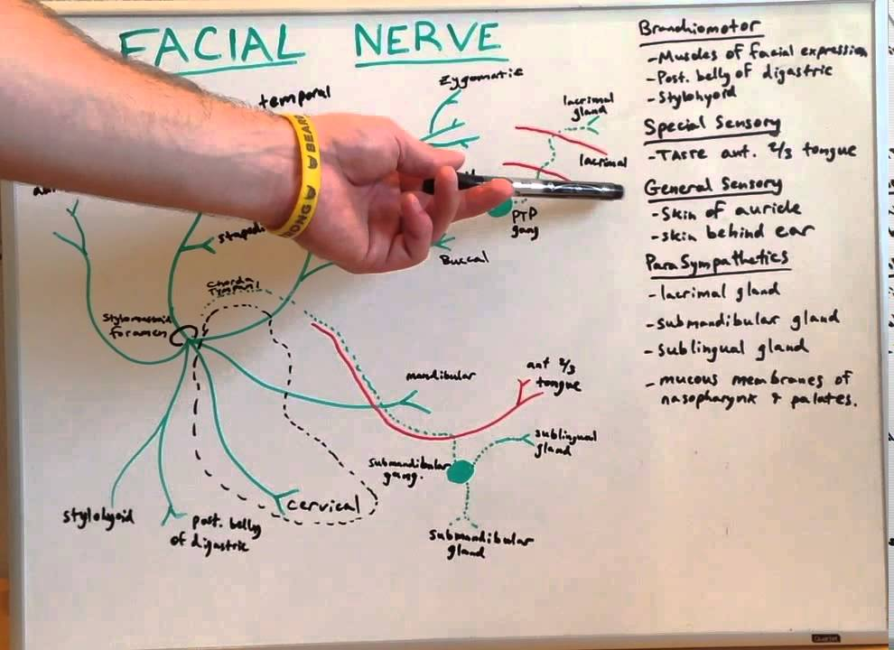 Cranial Nerve Vii Anatomy Lecture For Medical Students Usmle