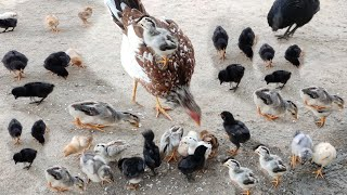 Sussex Hen Harvesting Eggs to Chicks l Murgi Chicks with Black Color Kadaknadh Breed l Fish Cutting