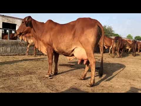 Taimoor Haidery Dairy Farm Pure Sahiwal Red Gold