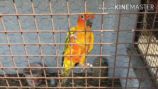 Sun conure adult pair for sale in Allahabad! Must watch
