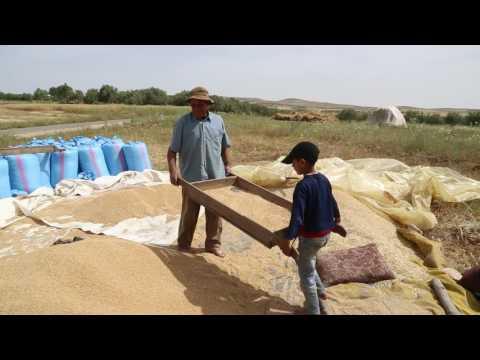 Maroc Atlas Agriculteur Triant Le Blé / Morocco Atlas Farmer Sorting Wheat
