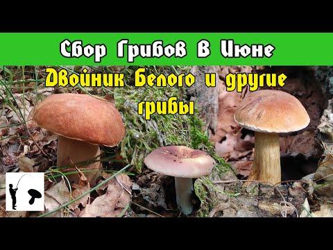 Двойник Белого гриба Горчак или Жёлчный гриб, Сыроежки и Белые грибы