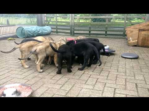 6 weeks old Irish Wolfhound puppies eating