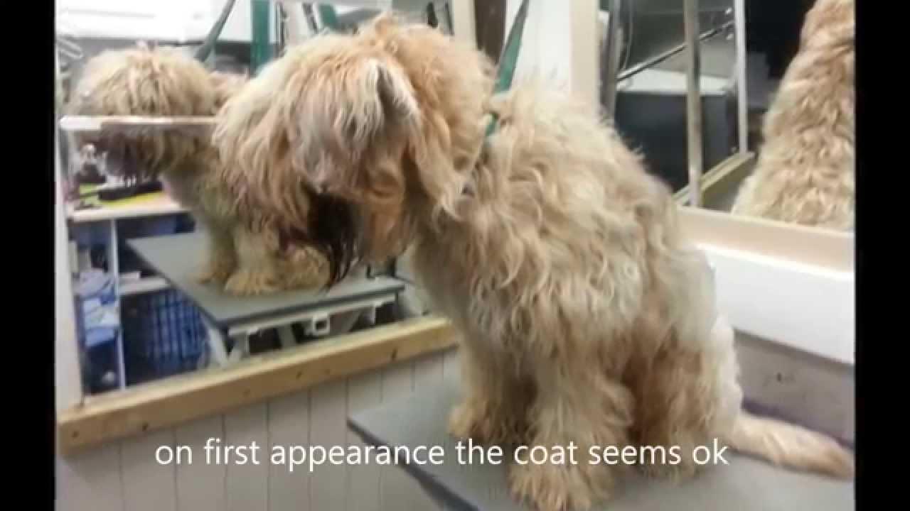 Wheaten Terrier Has Coat Shaved Off Youtube