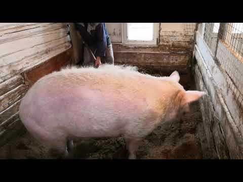 тест на беременность для свинки Бомбилы.
