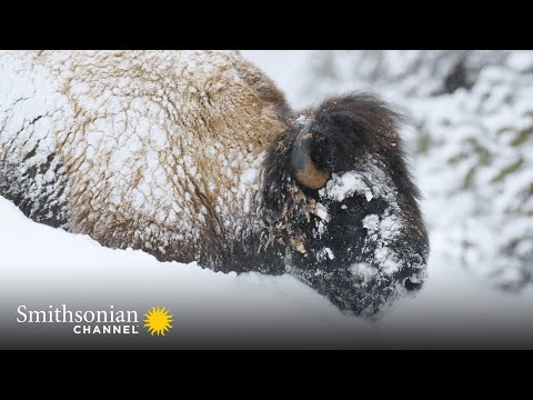 Yellowstone Bison Are Built for Winter Survival ❄️ Epic Yellowstone   Smithsonian Channel