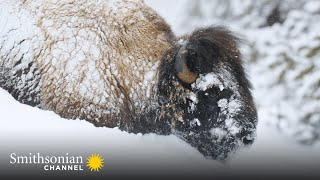 Yellowstone Bison Are Built for Winter Survival  Epic Yellowstone | Smithsonian Channel