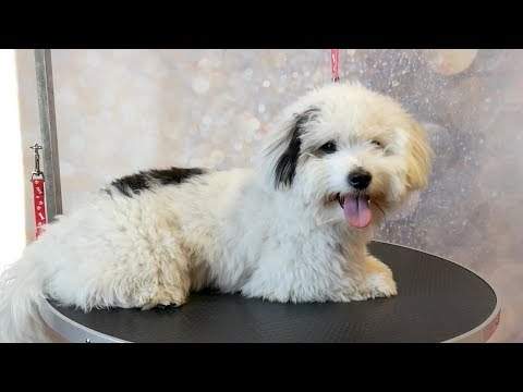 Grooming Guide - How to Groom a Coton de Tulear #46