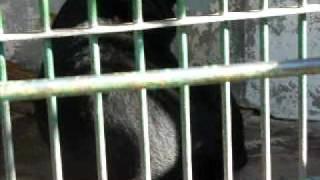 信州小諸動物園の熊です。これがなかなか芸達者。 背中で物を語っていま...